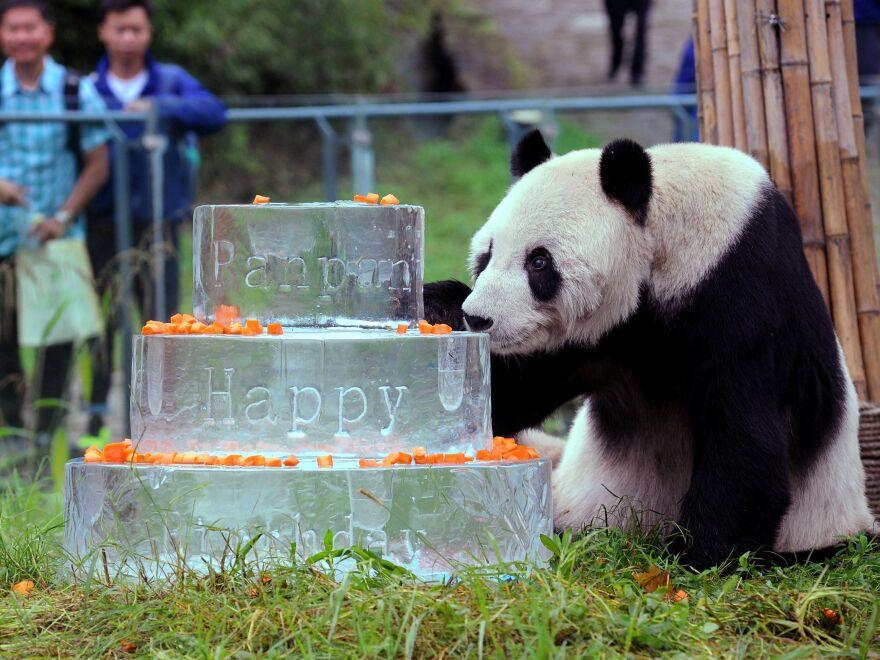 Pan Pan sniffs a birthday cake made of ice for his 30th birthday, at the China Conservation and Research Centre for the Giant Panda in Dujiangyan, on Sept. 21, 2015.