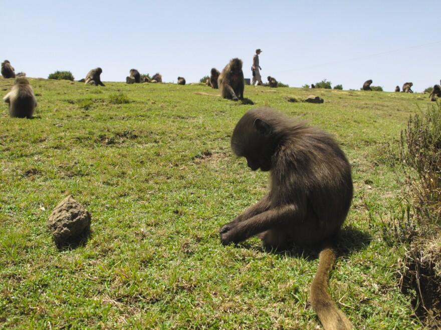 Geladas live in massive social groups of up to 1,000 monkeys.