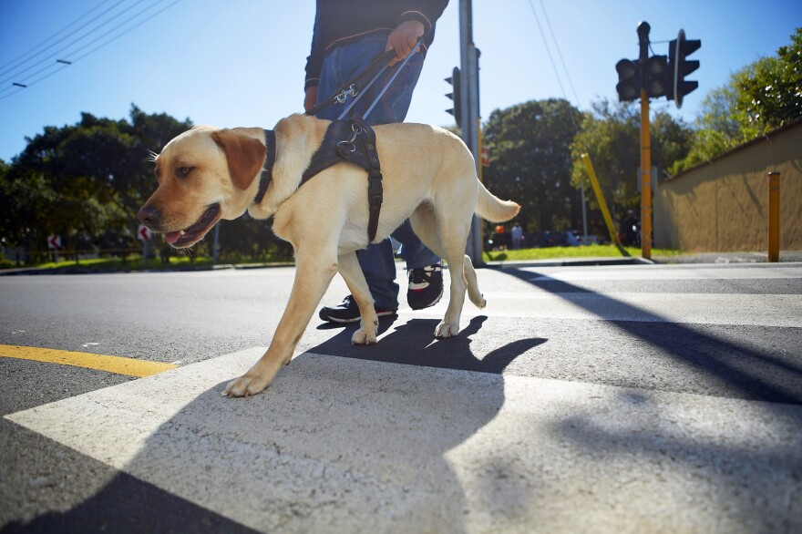 New research found a link between how puppies interact with their mothers and how they perform in guide dog training.