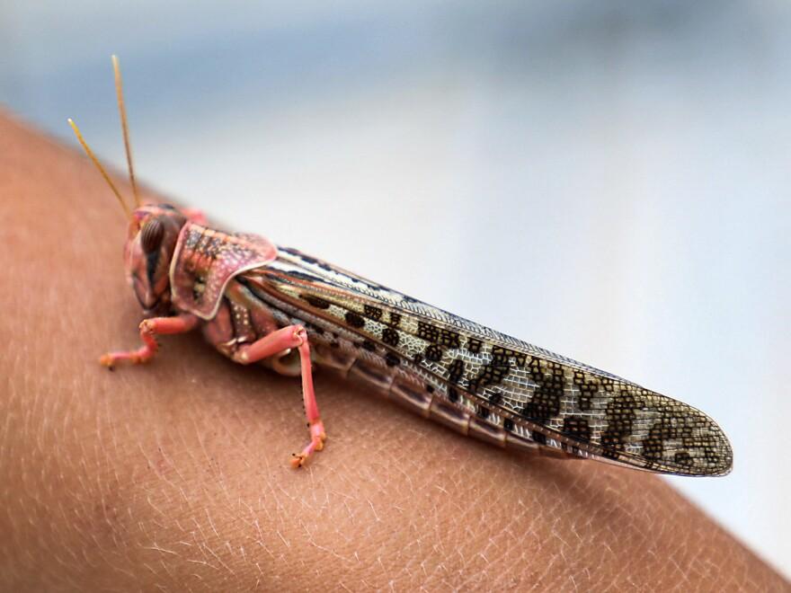 A desert locust sits on a child's arm in Yemen.