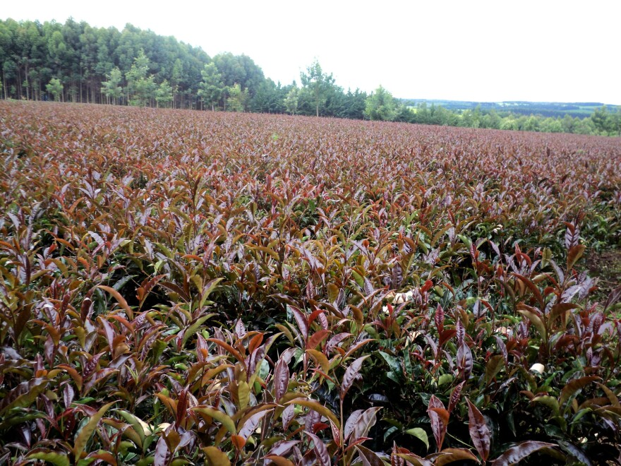 A field of purple tea growing in Kenya.