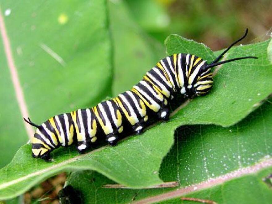 monarch_larva_on_milkweed_usgs.jpg