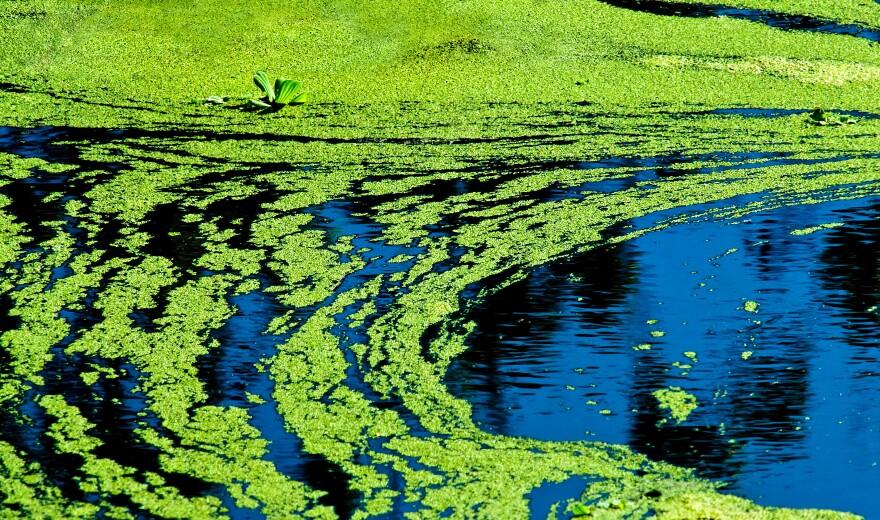 bluegreenalgae_iStock_073120.jpg