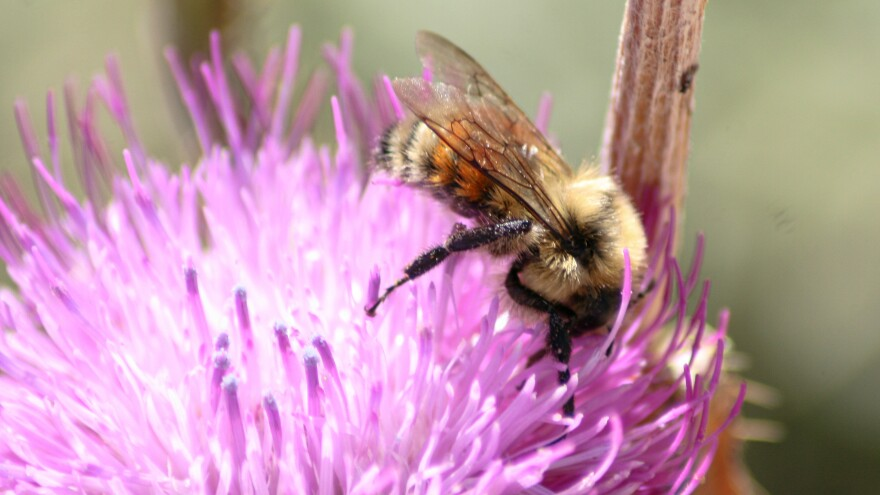 Bumblebees, like this Hunt's bumblebee in Colorado, are vanishing because of extreme temperatures and habitat loss.