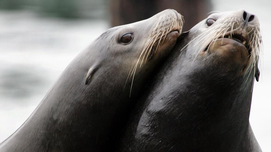 A pair of California sea lions nuzzles on a dock in San Francisco. Between 1998 and 2017, nearly 700 California sea lions were found with gunshot and stab wounds in California, Oregon and Washington.