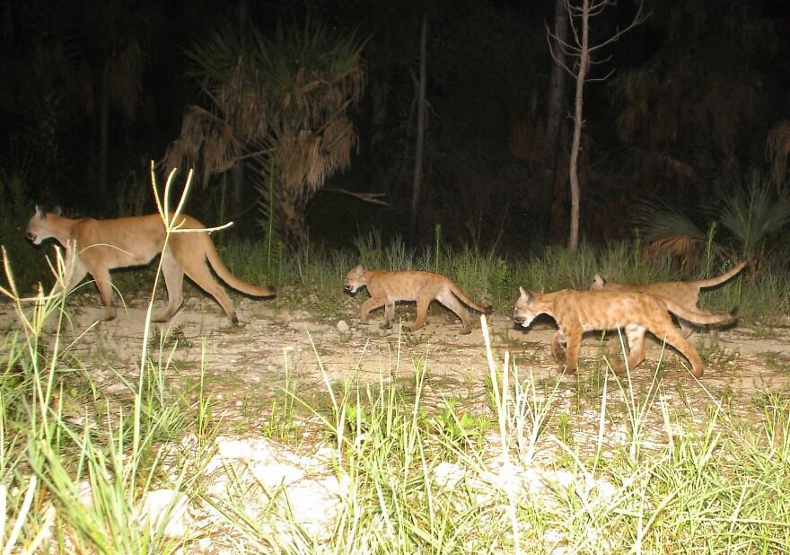 Florida panther mom and cubs
