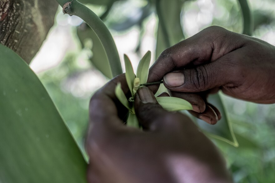 A plantation worker manually pollinates a vanilla flower at a plantation near Antalaha, Madagascar. Since each flower needs to be hand-pollinated, vanilla production is a labor-intensive enterprise.