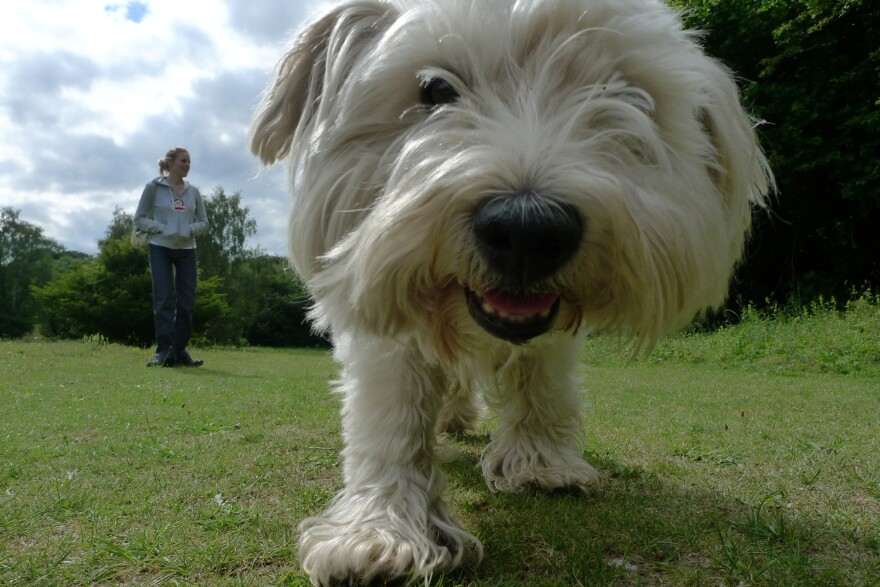 """A dog named """"JC"""" smiles for the camera while his owner holds back. (Benjgibbs/Creative Commons)"""