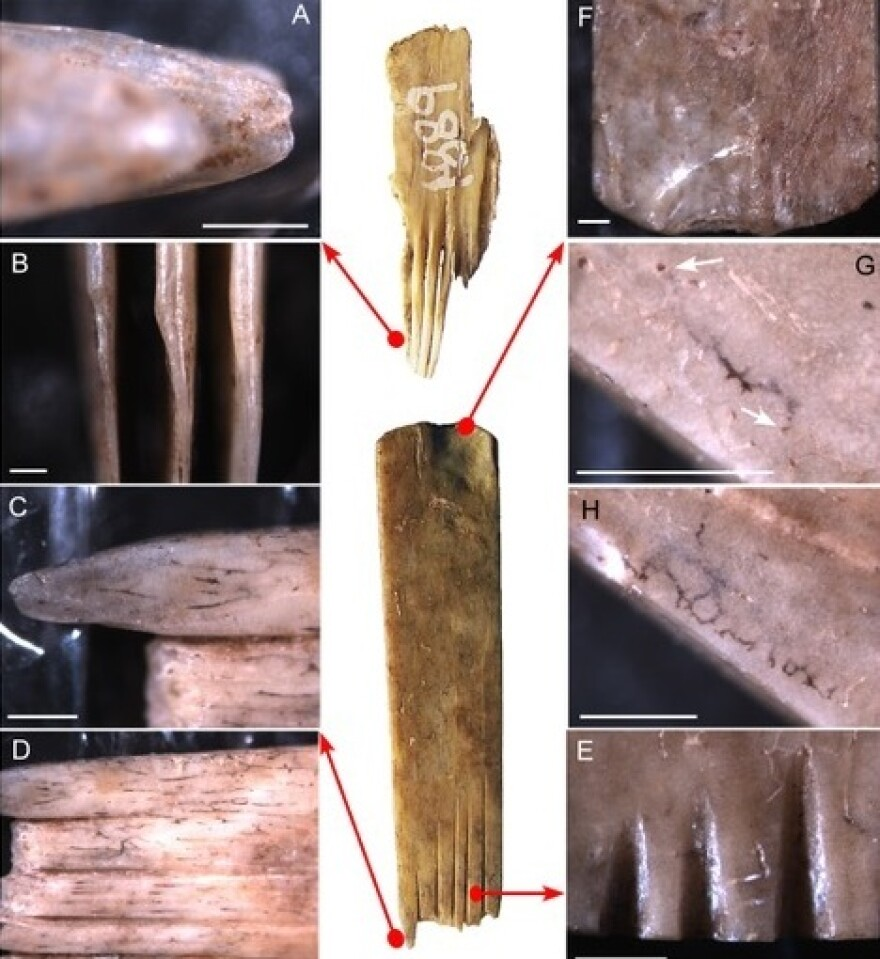 A close-up of the ancient bone combs from Tonga used in tattooing. Australian researchers say they shed light on the origins of Polynesian body art.