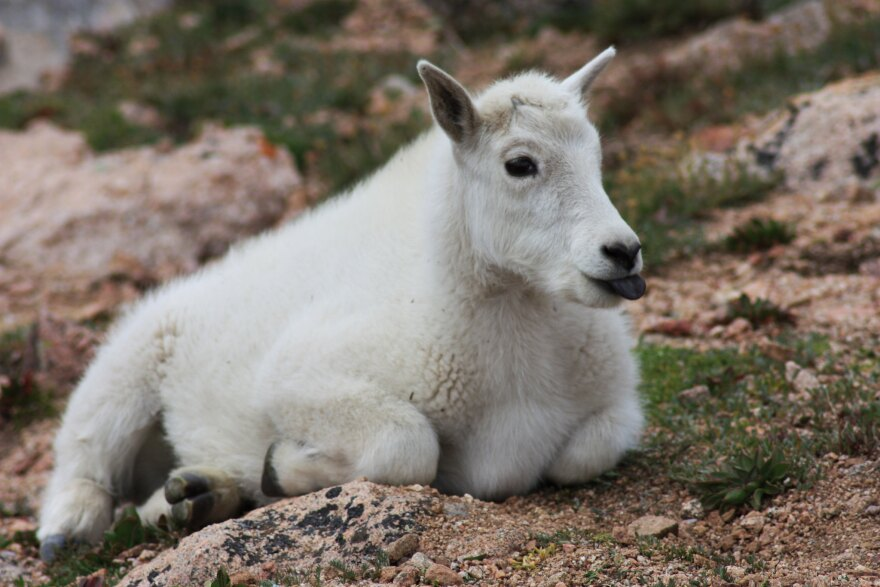 mountain_goat_kid_mt_evans_2010_patrick_shannon_cc-by.jpg
