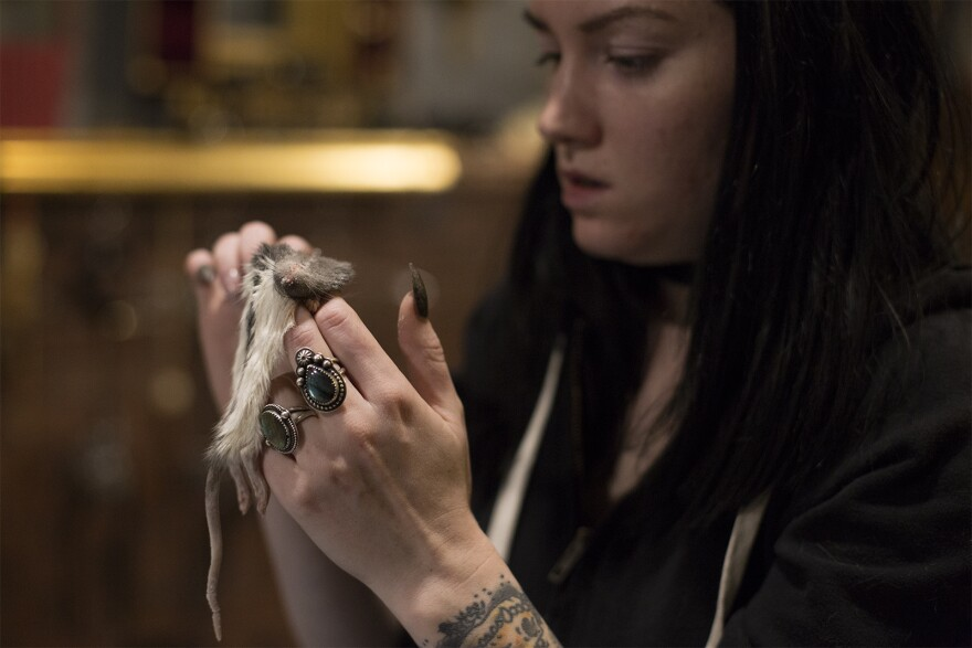 Cassandra Pace carefully inspects a specimen. She obtains naturally deceased animals from local breeders and farmers.