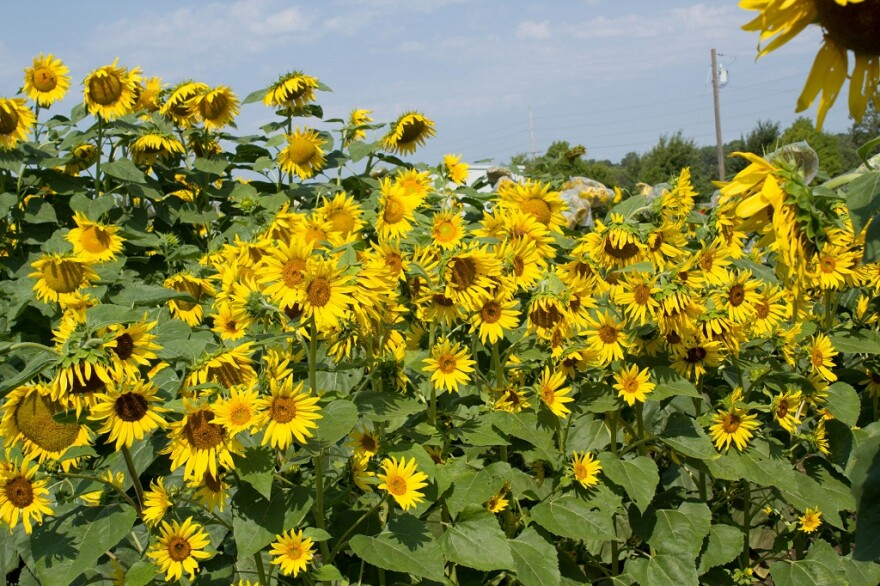 101817_sunflowers_rows_1.jpg