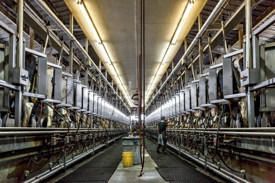 Cows in the milking area with mechanized suction machines