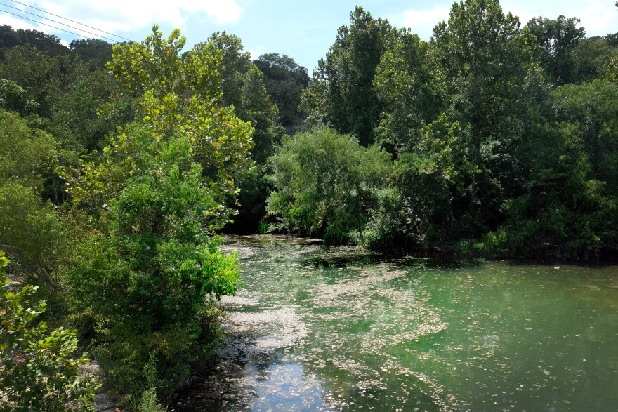 Algae filled much of the surface of Lady Bird Lake near Red Bud Isle on Thursday.