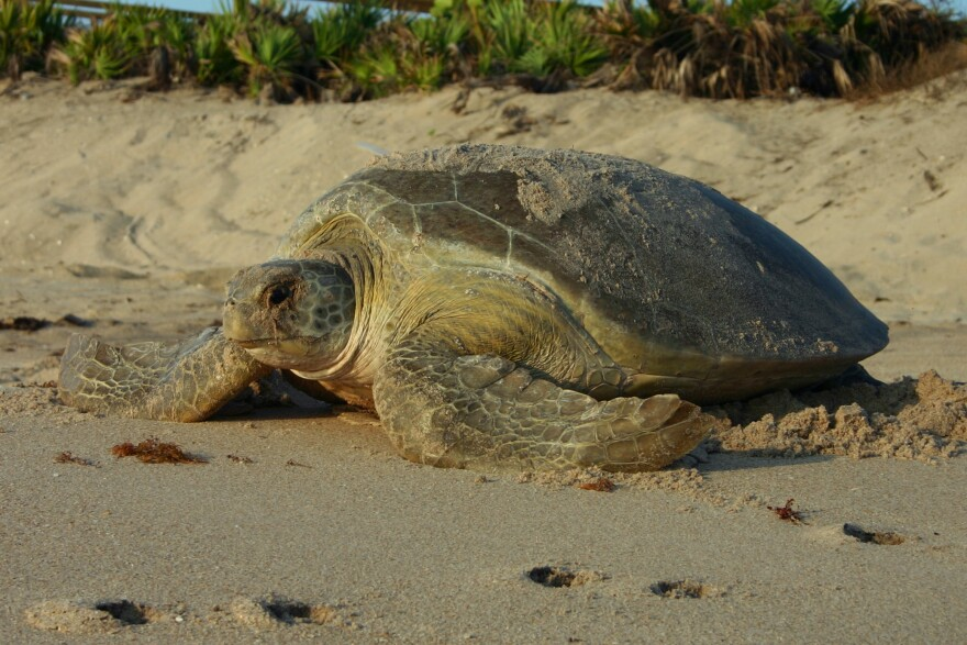 A nesting green sea turtle.