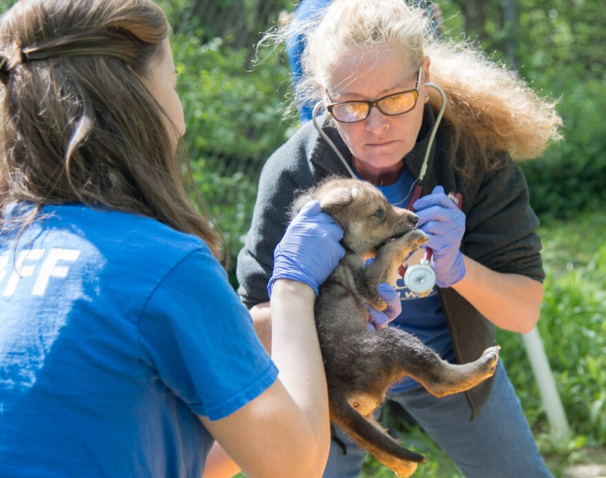 Endangered Wolf Center's director of animal care and conservation Regina Mossotti holds up the three-week-old male Mexican wolf pup as veterinarian Rhiannon McKnight performs a health check.