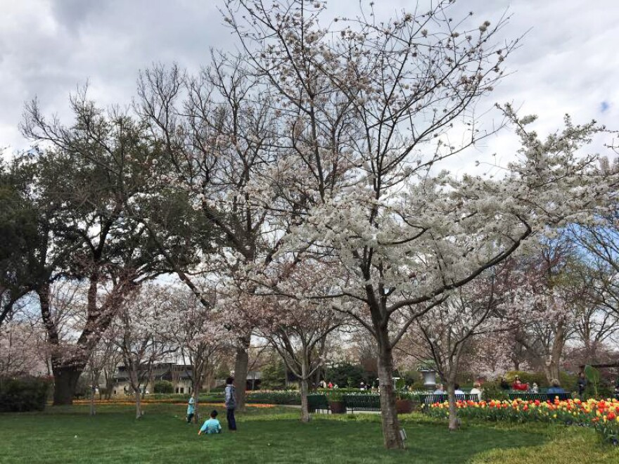 If you want to check out cherry blossoms at the Dallas Arboretum, you need to visit before the end of the month.