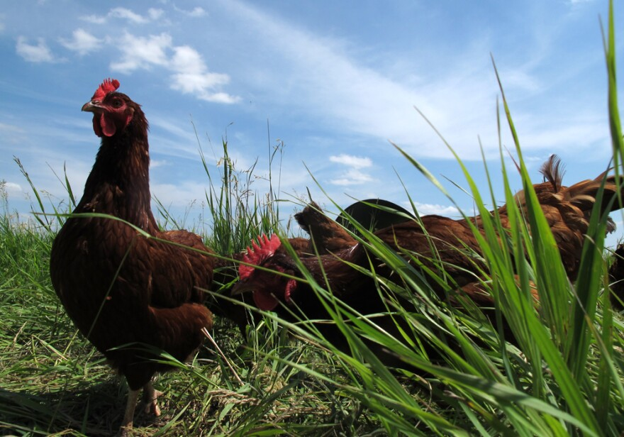 A group of chickens graze on grass.