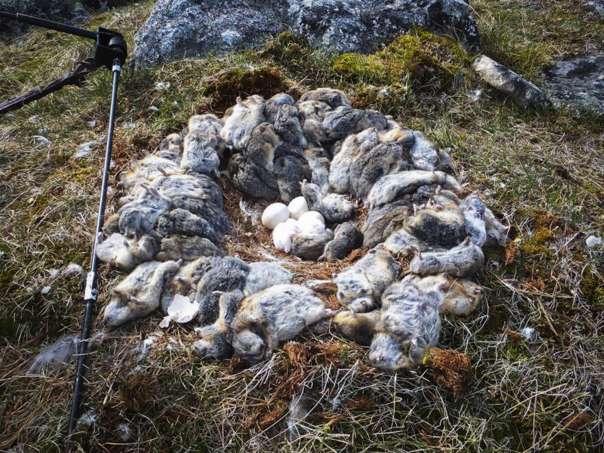 This snowy owl nest in northern Quebec (photographed by biologists last year) was littered with the carcasses of 70 lemmings. Rodent feasts like this ensured the health of thousands of owlets and fueled this year's irruption.