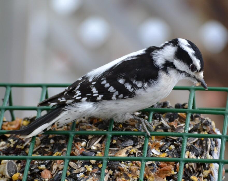 downey woodpecker at a feeder