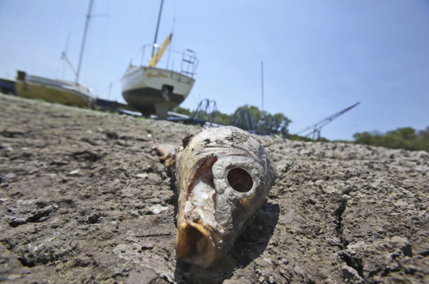 A dead fish lays near sailboats left high and dry at Benbrook Lake in Benbrook, Texas, Tuesday, Aug. 16.