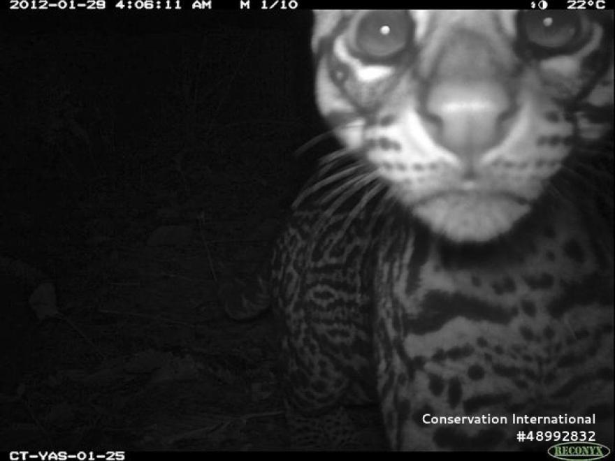 A curious ocelot in Ecuador checks out a motion-sensing camera.