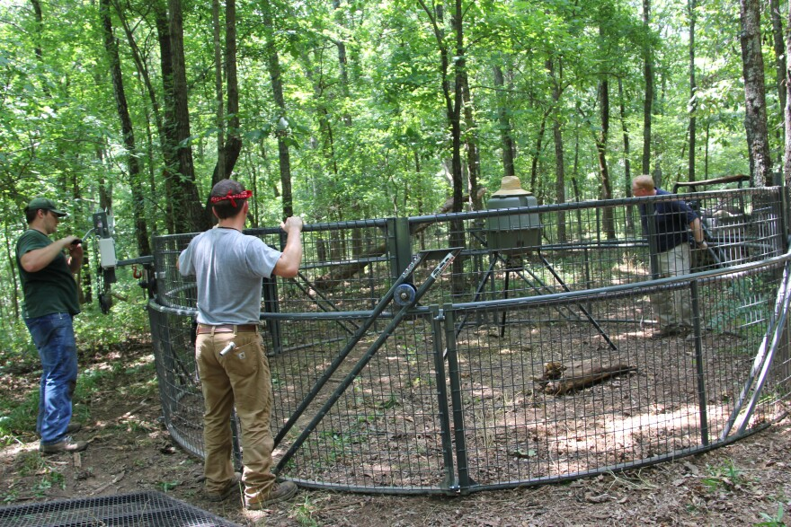 State and federal officials set up the Boarbuster, a feral hog trap, in a forest on private property.
