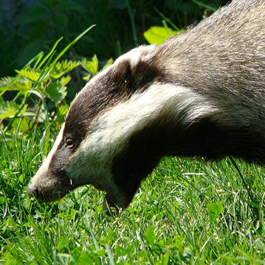British badgers have been exposing cows to bovine tuberculosis, scientists say.