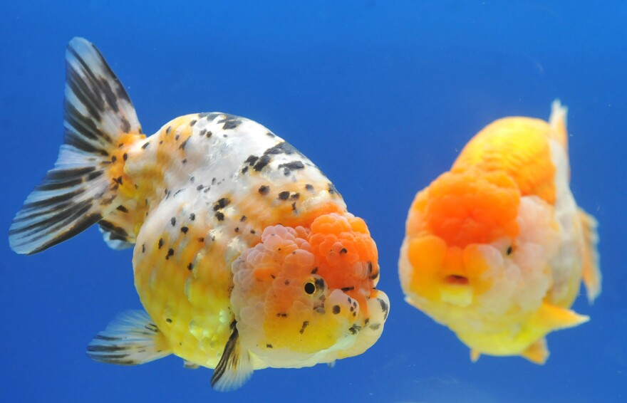 Two giant Ranchu fish are displayed at the 2013 Taiwan International Aquarium Expo.