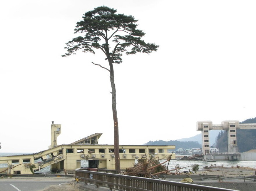 When a massive earthquake struck Japan on March 11, triggering a tsunami, the city of Rikuzentakata's famous pine trees were wiped away — except for this one. Now it is a symbol of hope for a devastated nation.