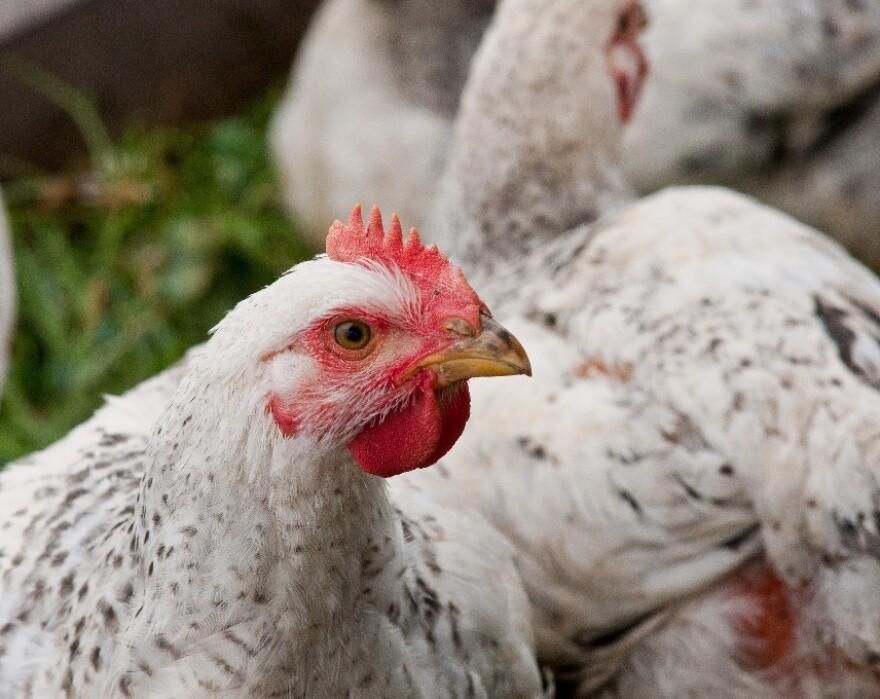 USDA_Chicken.jpg