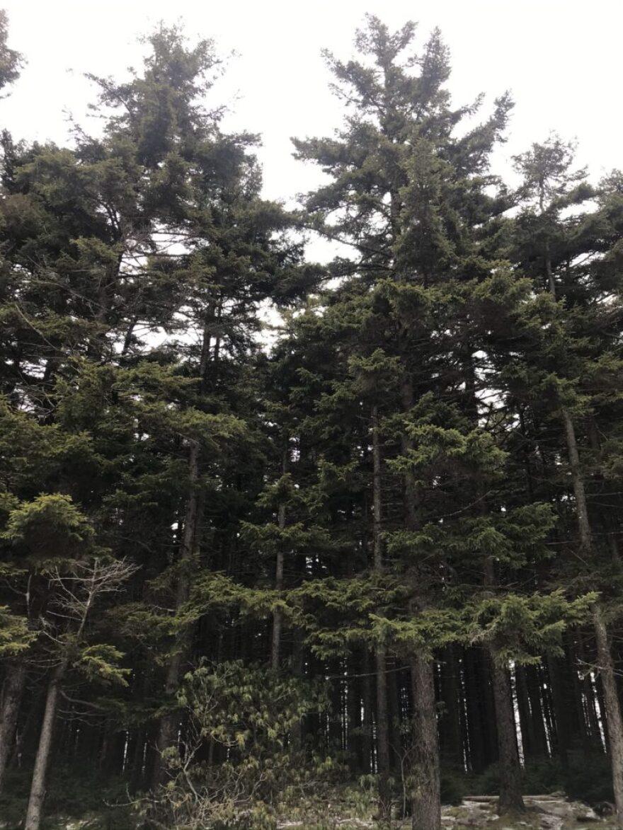 spruce_trees.jpeg