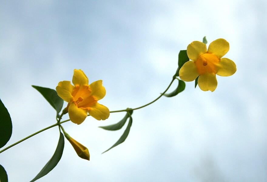 Jessamine flower