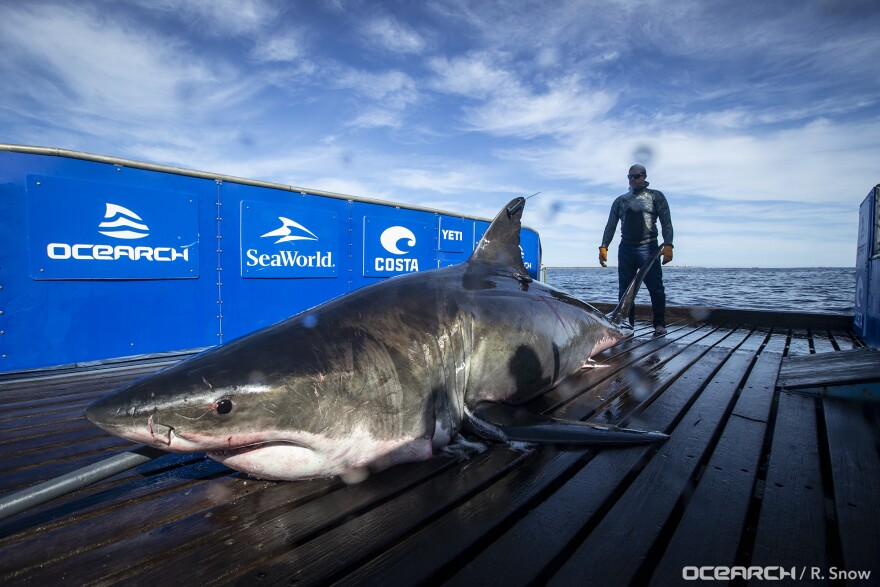 great_white_shark_unama_ki__ocearch_.jpg