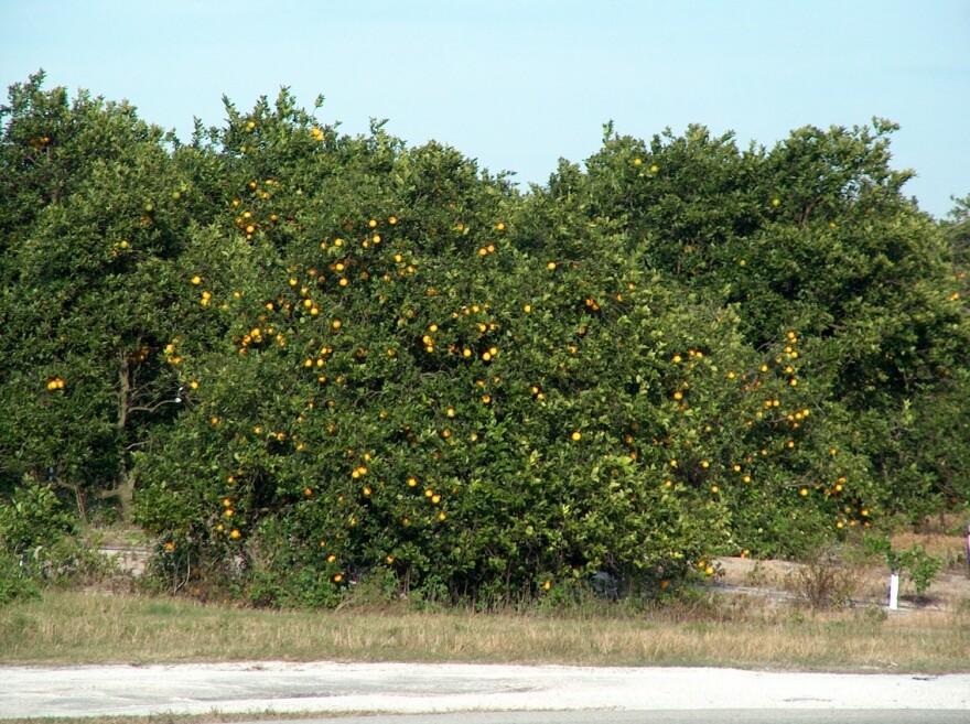 Florida_oranges_1.jpg