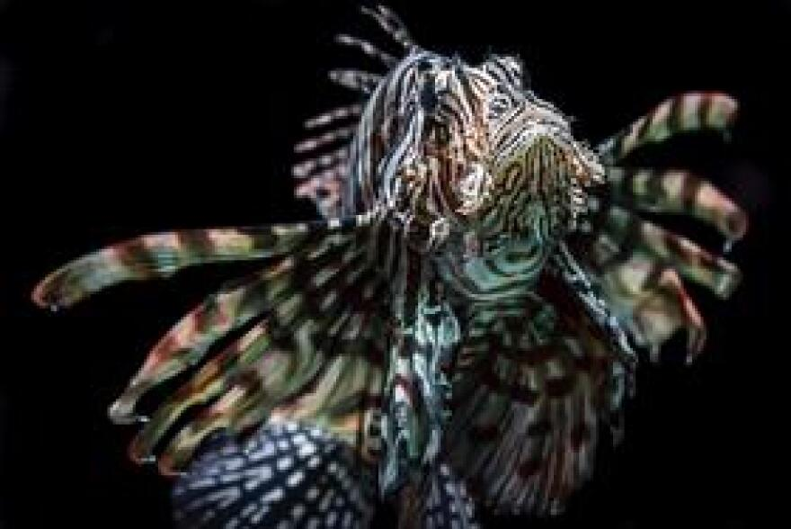 An individual lionfish can produce up to two million eggs each year, posing a daunting challenge to conservationists.