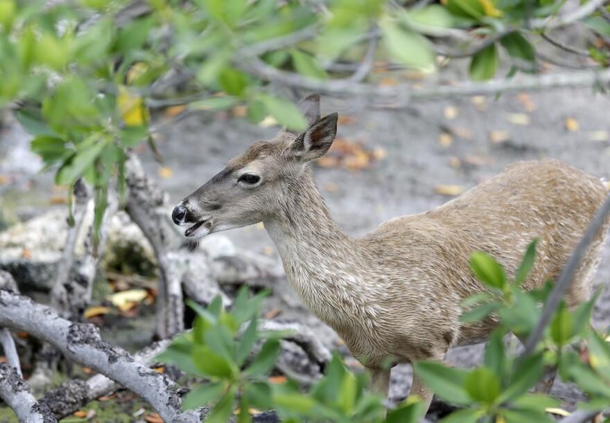 A white-tailed deer walks through the mangroves, Thursday, May 15, 2014 at Miami Seaquarium in Miami.