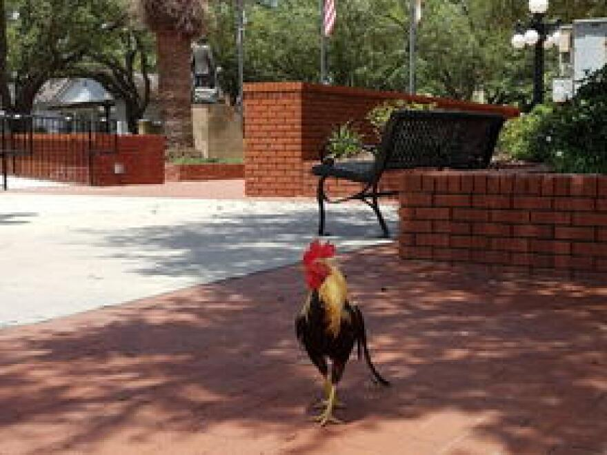 A solitary rooster in Ybor City's Centennial Park.