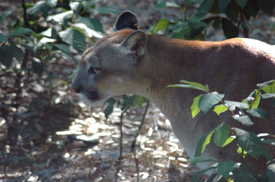 A close-up of a Florida panther between some vegetation.