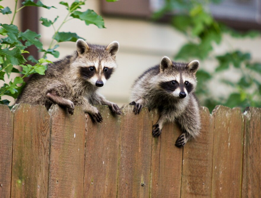 Raccoons sitting on a fence