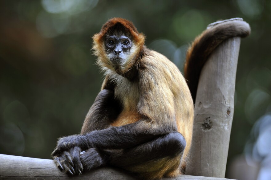 A spider monkey sits inside its cage last month at the Simon Bolivar Zoo, which recently celebrated its 97th anniversary, in San Jose, Costa Rica.