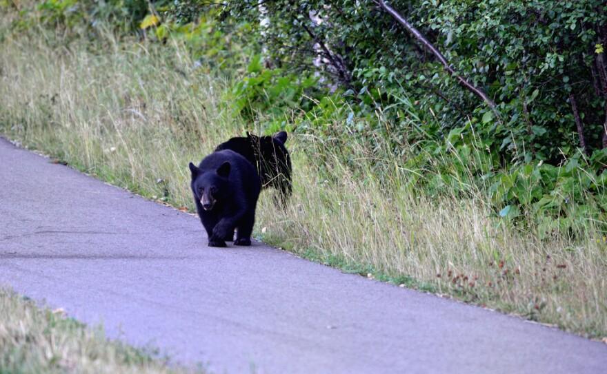 black_bear_cubs.jpg