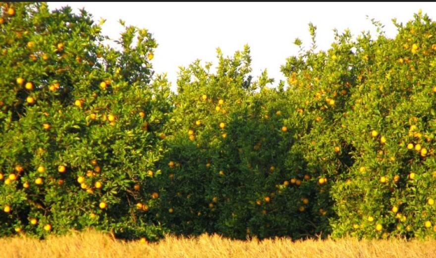 orangegroves_0.jpg
