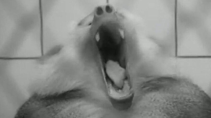 Babboon yawning