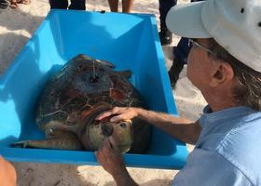 Richie Moretti, founder of the Turtle Hospital in Marathon, has one last moment with Coco, a loggerhead sea turtle, before it heads out to sea Friday morning.
