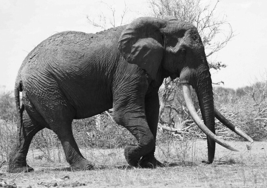 Satao was a 45-year-old Kenyan elephant with tusks so long they brushed the ground. Poachers killed him in June with a poisoned arrow. African leaders gathered in Washington said there needs to be better cooperation on the continent to prevent poaching.