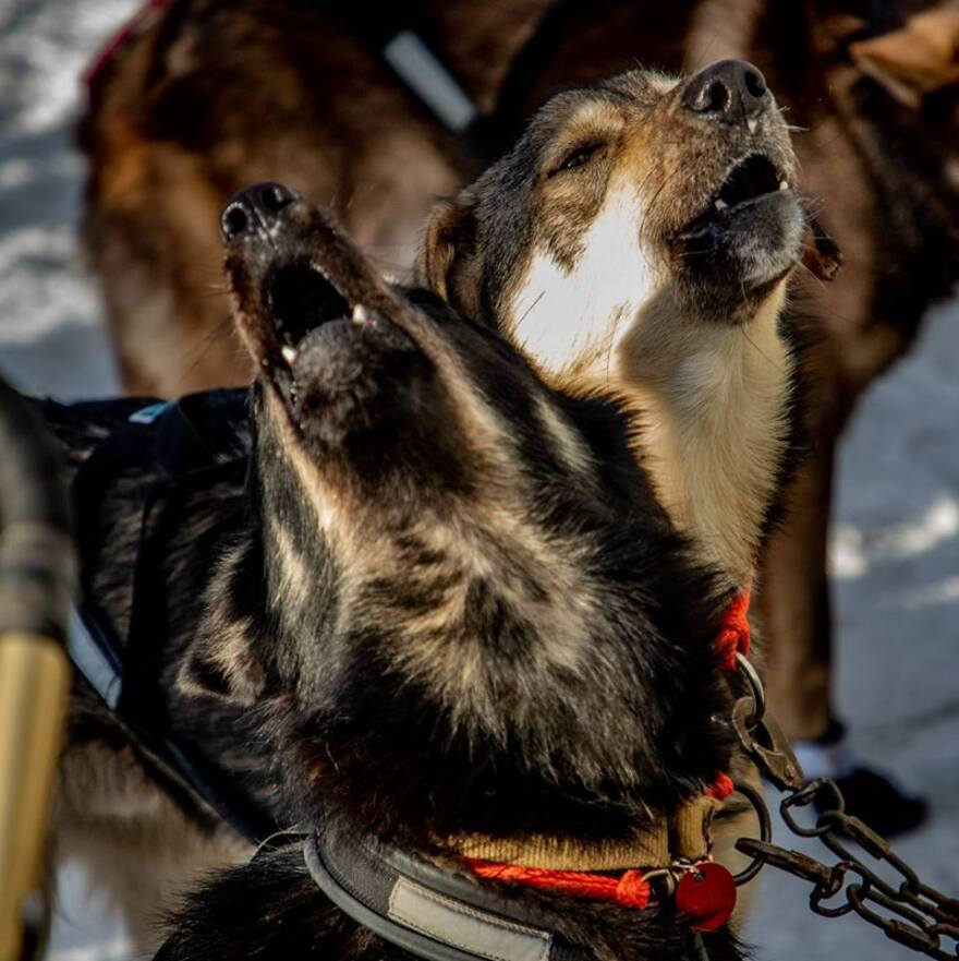 Some dogs on Peter Kaiser's sled team howl before the start of the Iditarod race.