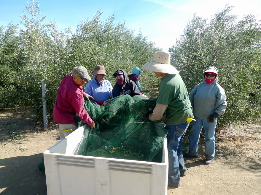 At a neighboring farm in the Capay Valley, workers dump just-picked olives into a bin.  They'll be milled within hours at the Yocha Dehe mill just down the road.
