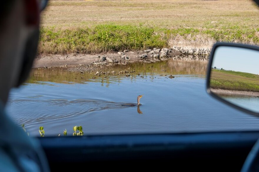 Kory McLellan, who manages the Bird/Wildlife Aircraft Strike Hazard program manager at MacDill Air Force Base, observes a double-crested cormorant near the flightline.