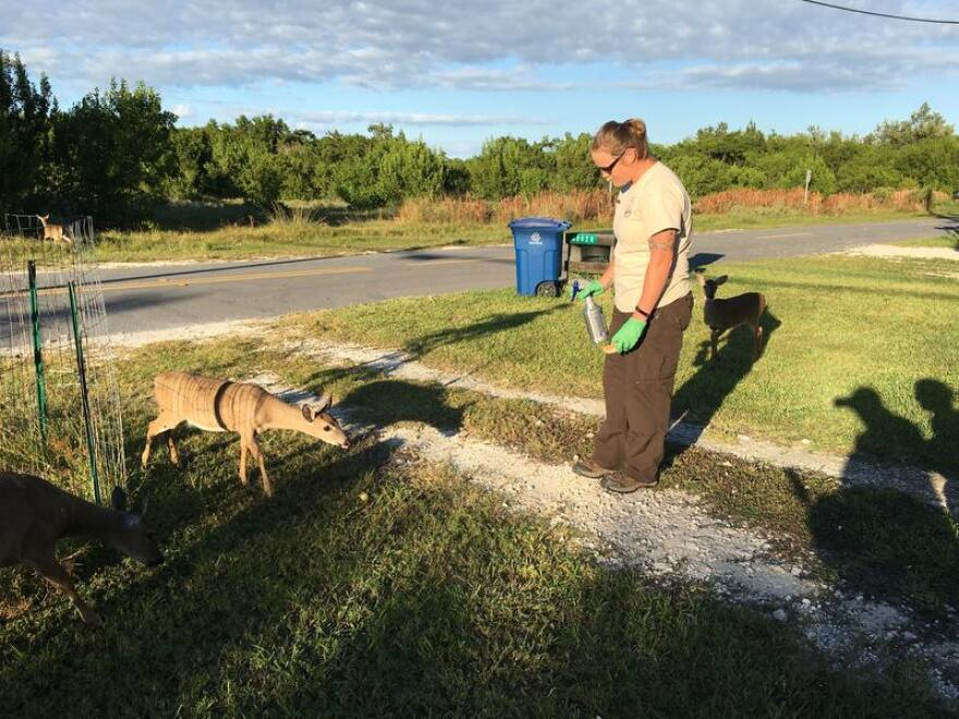Katrina Marklevits of the U.S. Fish & Wildlife Service treats Key deer with anti-parasitic medicine to protect them from screwworm.